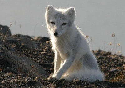 DAY2_Wilderness_arcticfox